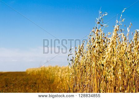 Field of oats against the blue sky