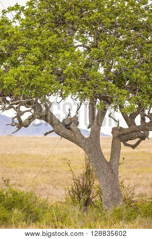 Leopard rests in a tree after meal in Serengeti, Africa Tanzania.