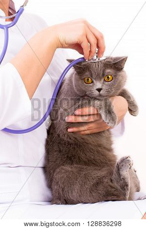 Veterinary Doctor Holding British Cat And Stroking The Head