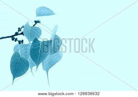 Bodhi or pho leaves (bo leafbothi leaf) blue color
