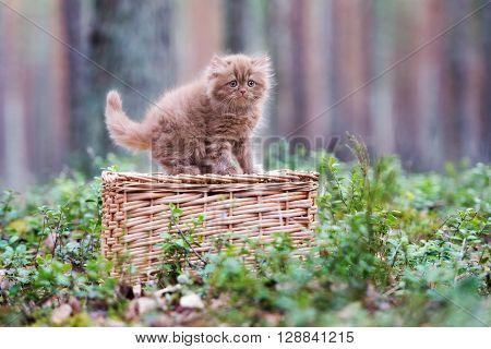 brown british longhair kitten on a basket outdoors