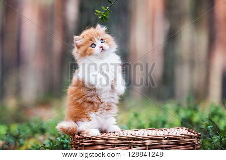 adorable british longhair kitten outdoors in the forest