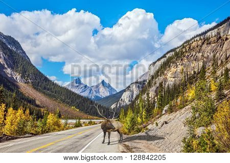 Magnificent red deer antlered on the road. Canada, Alberta, Rocky Mountains