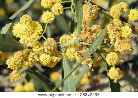 Golden Wattle Flowers - Acacia pycnantha Naturalised Shrub