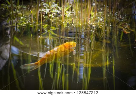 A golden hued fish feed on the water surface.