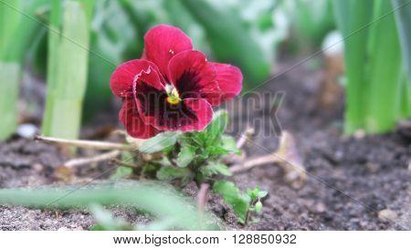 Rosa bzw. Magenta Blume in einem Blumenbeet