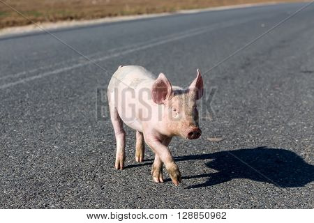 One little pig cross on the road