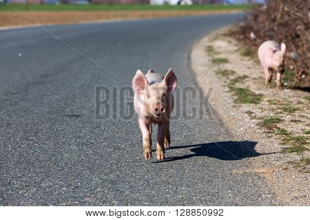 Two little pigs cross the road. Focus on the first one