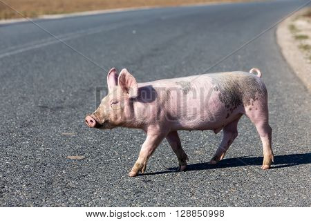 One little pig crossing the road street.