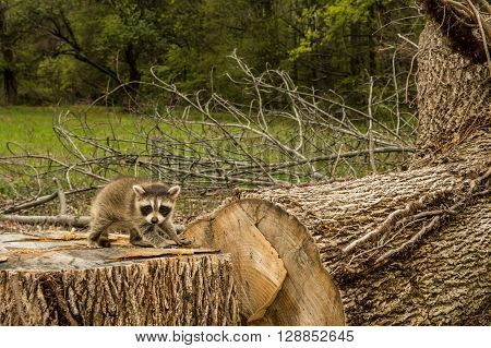 A baby raccoon searching for it's home after clear cutting forest.