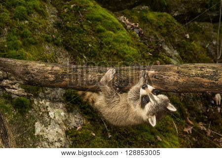 A baby raccoon upside down on a branch in the woods.
