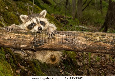A baby raccoon dangling from a fallen log in the woods.