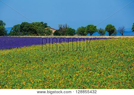 Beautiful sunflowers and lavender fields, Provence, France