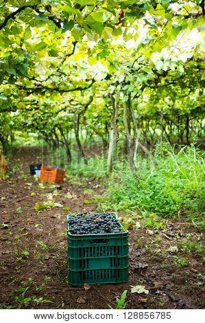 Vineyard - Box Full Of Grapes