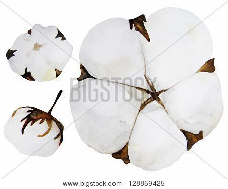 Watercolor cotton isolated on white background. Floral design element