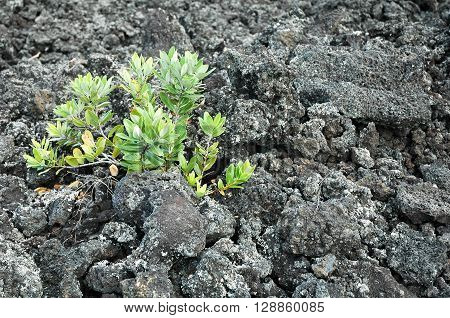 A young plant struggling to grow on barren lava rock