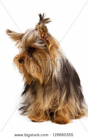 Yorkshire terrier looking at the camera in a head shot against a white background