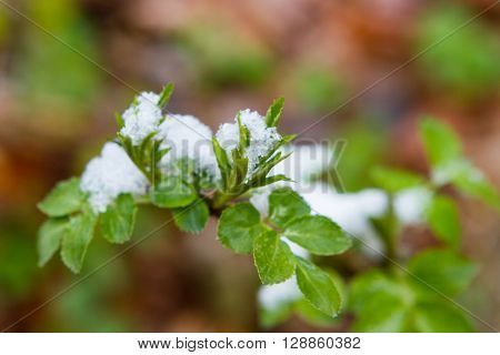 Snow fell unexpectedly lying on the leaves of parsley in the garden. Shallow depth of field. Selective focus