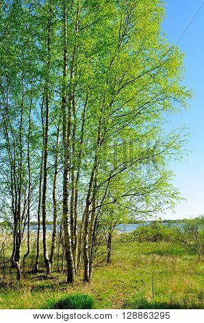Spring pictorial landscape - little birch forest near the river in spring sunny weather. Spring rural landscape.