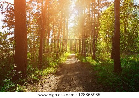 Forest sunny landscape - trees row and pathway lit by bright sunlight. Spring colorful forest landscape.