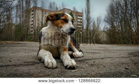 homeless wild dog in old ruined abandoned city Pripyat after nuclear disaster