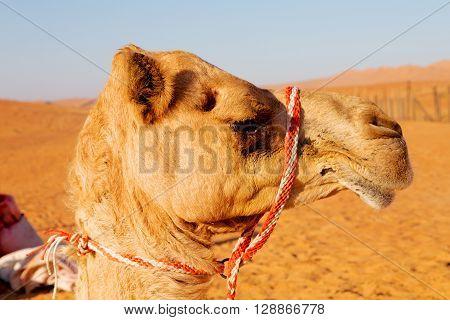 In Oman Empty Quarter Of Desert   Free
