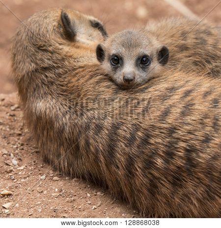 Young Meerkat snuggling in her mother fur