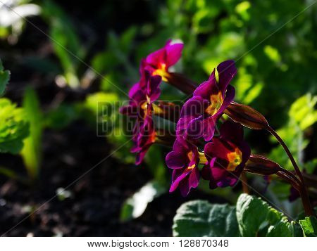 Primrose Flower Garden flora season spring plant
