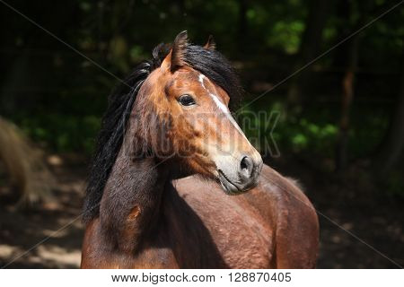 Lovely Brown Pony With Nice Black Mane