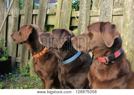 Labrador trio two males and a female. Chocolate brown
