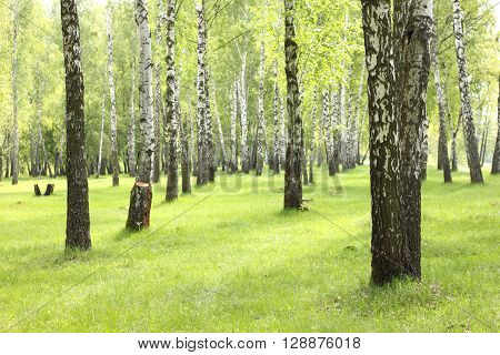 Spring in birch grove, beautiful forest landscape