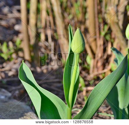 tulip bud bloom South Bohemia Czech Republic