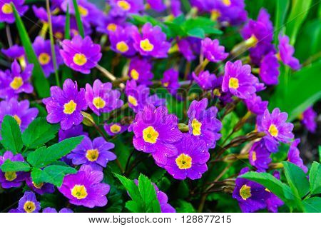 Closeup of blooming spring flowers - Primula juliae also known as Julias primrose or purple primrose. Spring floral landscape natural floral background.