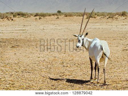Antelope, Arabian oryx (Oryx leucoryx) in desert nature reserve, 35 km north of Eilat, Israel