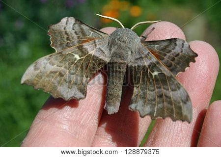 Poplar hawk moth on a hand to show the size with blurred flowers and grass in the background.