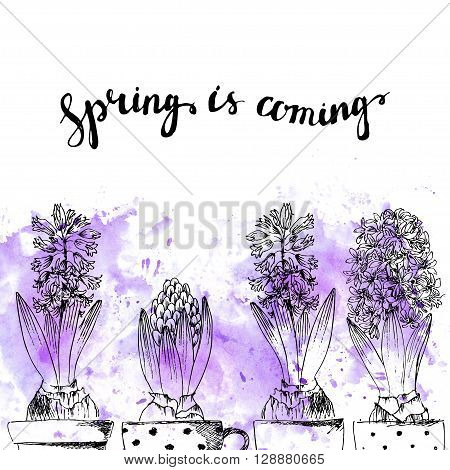 Hand drawn line art pot hyacinth flowers and bud. Spring is coming lettering on purple watercolor splash. Spring hyacinth ink drawing for easter card gardening floral design.