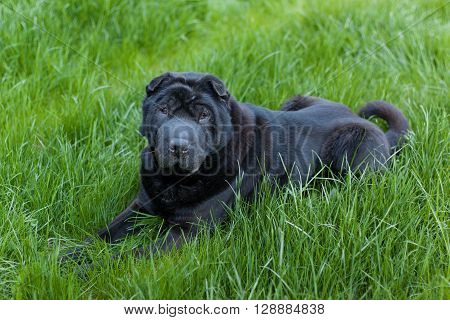 Beautiful old balck shar pei dog on grass. Copy space. Outdoor shot.