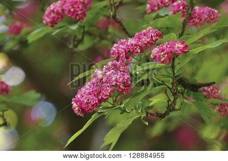 Flowering branch of pink hawthorn hawthorn toning
