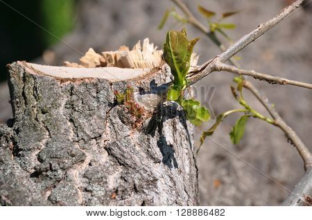 spring poplar tree trunk srpout with ants
