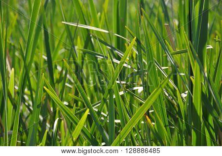 reed, rush, green, greenery, grass, vegetation, river plant