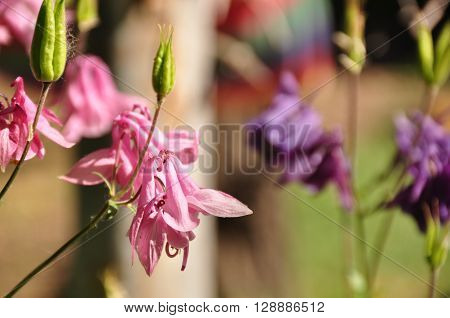common columbine, aquilegia vulgaris,pink, flower, garden, garden design, flowers background,