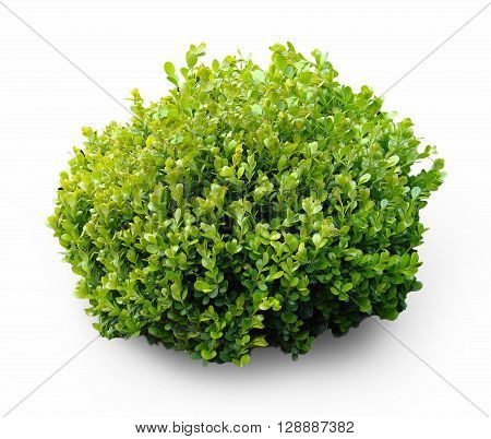 Isolated image of boxwood bush on a white background