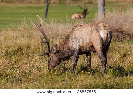 a bull elk grazing during the fall rut
