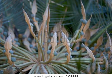 Cycad Seeds