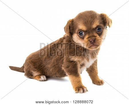 puppy isolated on white background whelp, white,