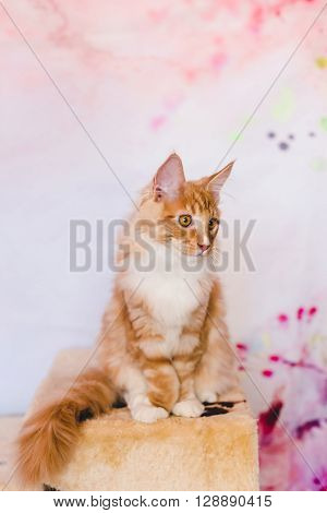 Red Tabby Maine Coon Kitten
