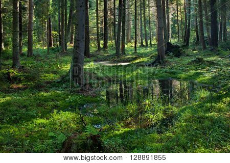 Open standing water inside coniferous stand in morning,Bialowieza Forest, Poland, Europe