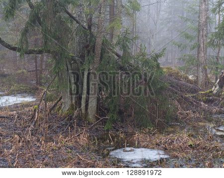Spring landscape of old forest and broken trees lying in water Bialowieza Foest, Poland, Europe