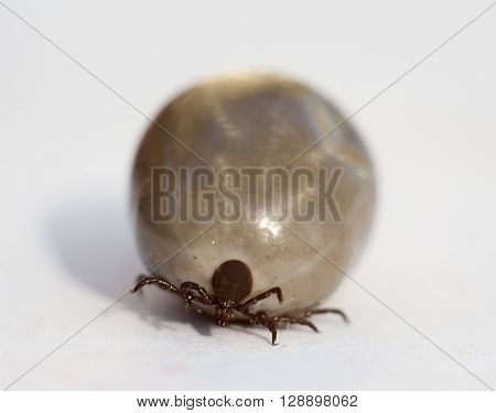 fed tick on white background extreme closeup