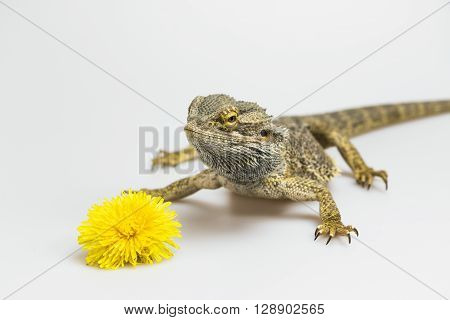 Agama lizard is standing on the light background. The yellow blossom of dandelion is lying in front of her. Agama has a closed mouth. Everything is on a light background.